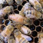 Matka pszczela